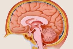 Normal Brain