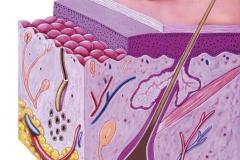 Normal Skin Anatomy